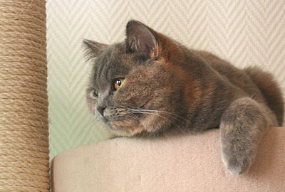 Adopter un chat adulte british shorthair